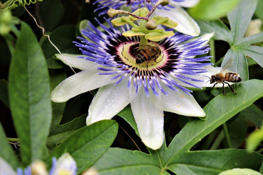 pollination -Top Tips to growing passion fruits